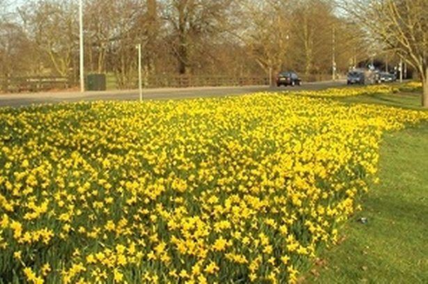Daffodil verge